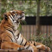 Regal Tiger Poster