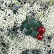 Reindeer Lichen And Low-bush Cranberry Poster