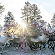 Reindeer On Autumn Sun Poster