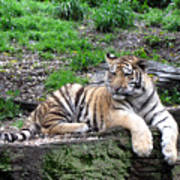 Relaxed Tiger Cub Poster