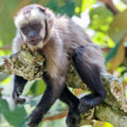 Relaxing Capuchin Monkey Poster