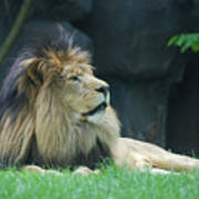 Relaxing Lion With A Thick Black Fur Mane Poster