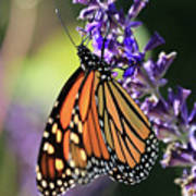 Relaxing Monarch Butterfly Poster
