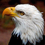 Reminiscent Bald Eagle Poster