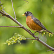 Resting American Robin Poster