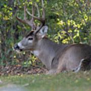 Resting Buck Poster