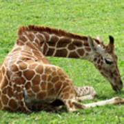 Resting Giraffe Poster
