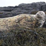 Resting Gray Seal On Seaweed Poster