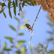 Resting Hummingbird Poster