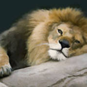 Resting Lion Poster