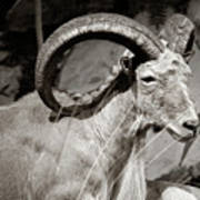 Resting Ram Poster