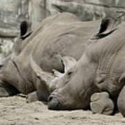 Resting Rhinos Poster