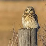 Resting Short Eared Owl Poster