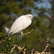 Resting Snowy Egret Poster