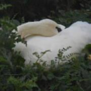 Resting Swan Poster