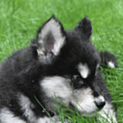 Resting Two Month Old Alusky Puppy Dog In Grass Poster