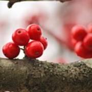 Resting Winter Berries  Poster