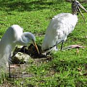 Resting Wood Stork And White Egret Poster