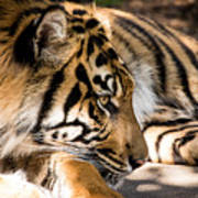 Resting Yet Watchful Tiger Poster