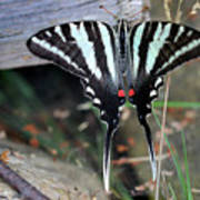 Resting Zebra Swallowtail Butterfly Poster