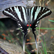 Resting Zebra Swallowtail Butterfly Square Poster