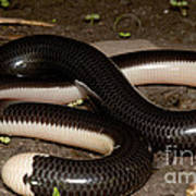Reticulate Worm Snake Poster