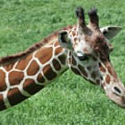 Reticulated Giraffe #3 Poster