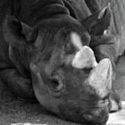 Rhino Nap Poster