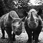 Rhinoceroses Poster