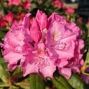 Rhodendrum Poster
