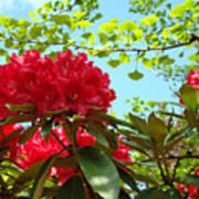 Rhodies Art Prints Red Rhododendron Floral Garden Landscape Baslee Poster