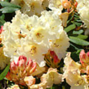 Rhodies Creamy Yellow Orange 3 Rhododendrums Gardens Art Baslee Troutman Poster