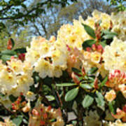 Rhodies Flowers Art Yellow Orange Rhododendrons Garden Poster