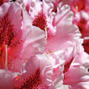 Rhodies Pink Fine Art Photography Rhododendrons Baslee Troutman Poster