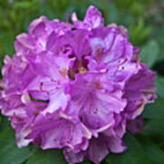 Rhododendron Elegance Poster