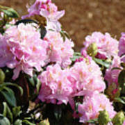 Rhododendron Flower Garden Art Prints Canvas Pink Rhodies Baslee Troutman Poster