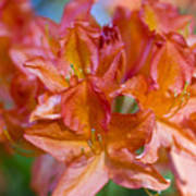 Rhododendron Flowers Poster