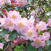 Rhododendron Flowers Garden Art Prints Floral Baslee Troutman Poster