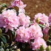 Rhododendron Garden Art Print Pink Rhodies Flowers Baslee Troutman Poster