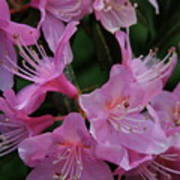 Rhododendron In The Pink Poster