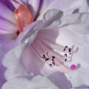 Rhododendron In White And Magenta Poster