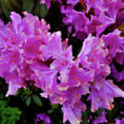 Rhododendron Pink Poster