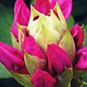 Rhododendron Velvet    Poster