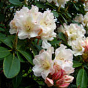 Rhododendrons II Poster