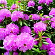 Rhododendrons In Bloom Poster