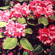 Rhododendrons Rothschild Poster