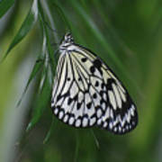Rice Paper Butterfly Sitting On Green Foliage Poster