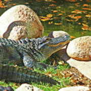 Richly Hued Colorado Gator On The Rocks 2 10282017 Poster