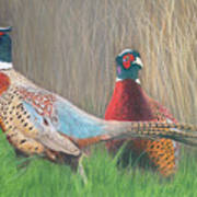 Ring-necked Pheasants Poster