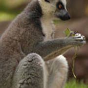 Ring-tailed Lemur Holding A Clump Of Grass Poster